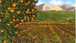 California-Orange-Orchard